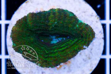 Acanthastrea bowerbanki