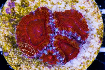Ultra Acanthastrea Red Rainbow