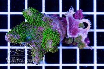 Lobophytum Aussie Green Polyp