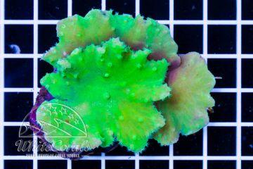 Sinularia brassica Green Neon