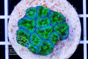 Micromussa Green
