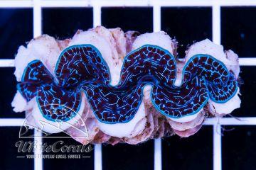 Tridacna maxima Ultra Blue ca. 5 cm