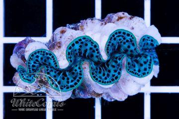 Tridacna maxima Ultra Blue ca. 3 cm