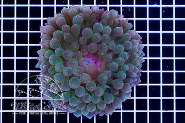 Entacmaea quadricolor Green and Purple Tip