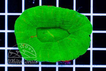 Scolymia Green