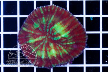 Scolymia vitiensis Red