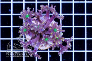 Clavularia Tricolor