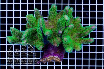 Lobophytum sp. Aussie Green Polyps