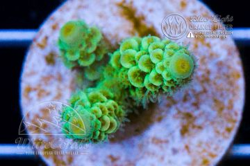 Acropora tenuis Green (Filter)