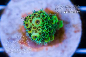 Acropora millepora Multicolor (Filter)