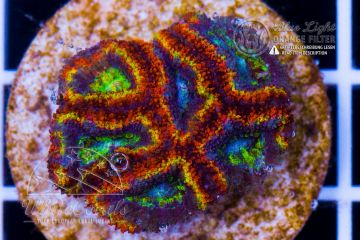 Ultra Acanthastrea Red Ring (Filter)
