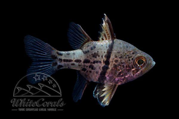 Sphaeramia orbicularis - Chubby Cardinalfish