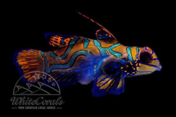 Synchiropus splendidus - Mandarin-Leierfisch (Männchen)