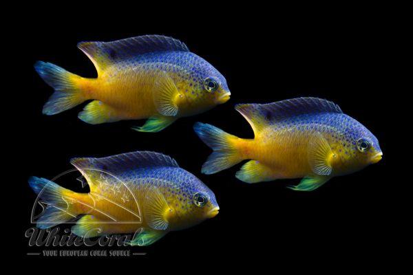 Stegastes leucocistus - Beau Gregory 3-pack
