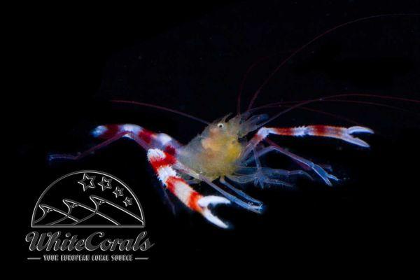 Stenopus cyanoscelis - Blue Legged Banded Shrimp