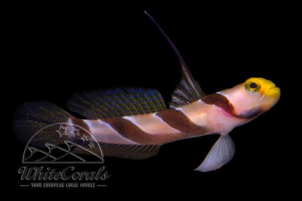 Stonogobiops nematodes - Hi Fin Red Banded Goby
