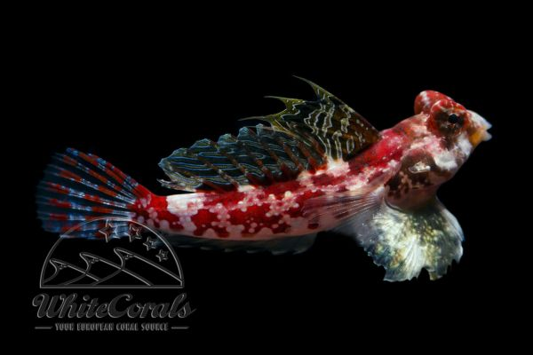 Synchiropus marmoratus - Marbled Dragonet