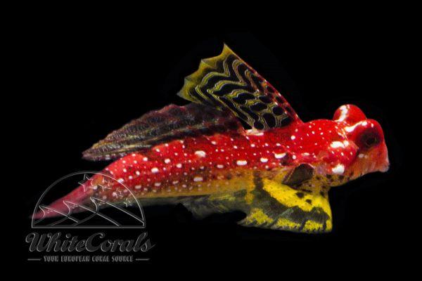Synchiropus moyeri - Moyers Leierfisch