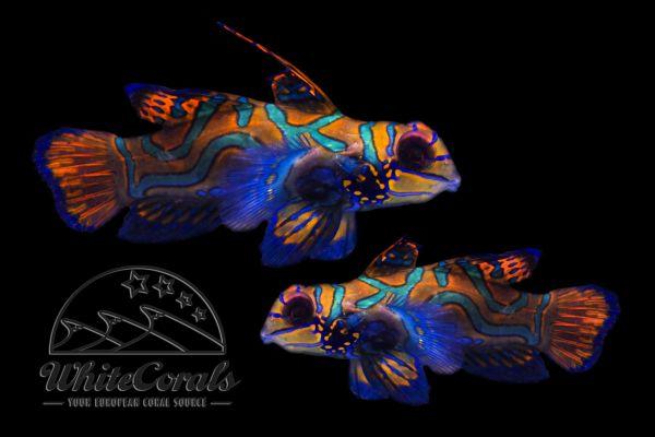 Synchiropus splendidus - Mandarin Leierfisch (Paar)