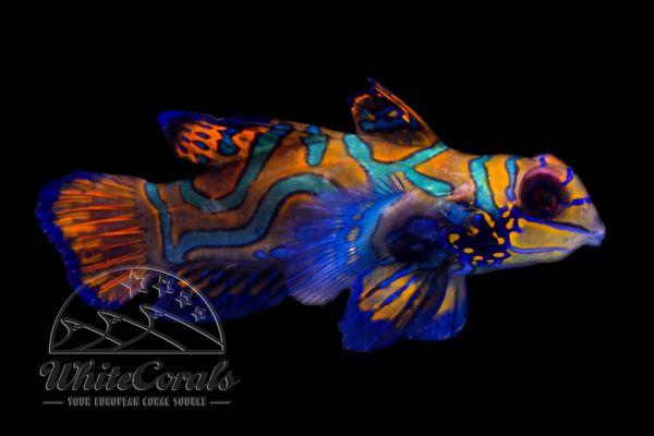 Synchiropus splendidus - Mandarin Leierfisch (Weibchen)