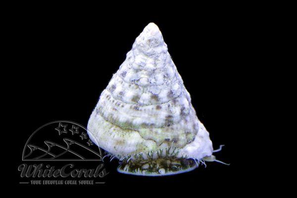 Tectus sp. - Pyramid Algae Snail