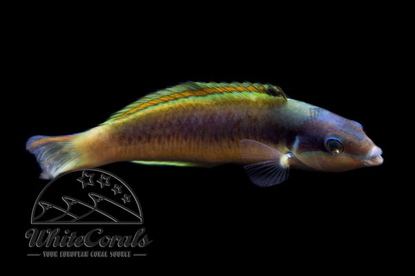 Thalassoma genivittatum - Red Cheek Wrasse (Mauritius)