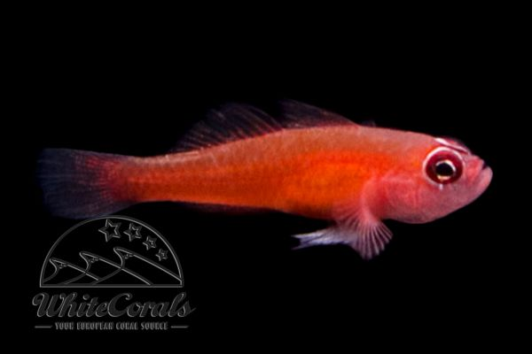 Trimma benjamini - Ring-eye Pygmy Goby