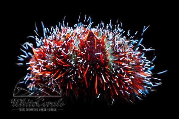 Tripneustes gratilla - Pincushion Hairy Urchin