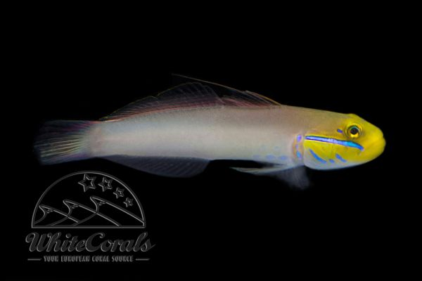 Valenciennea strigata - Sleeper Goldhead Goby