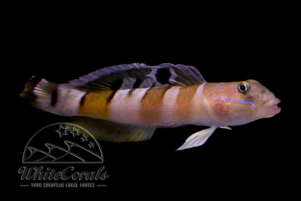 Valenciennea wardii - Tiger Watchman Goby
