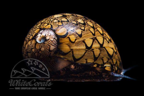 Vitta virginea - Cayo Lago Snail