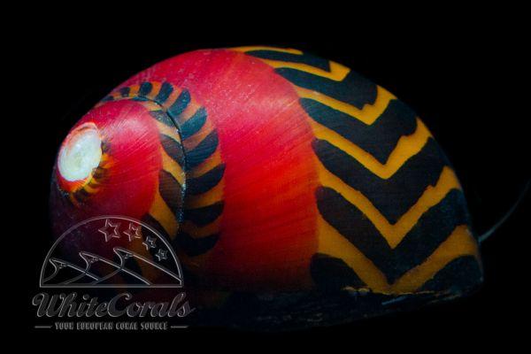 Vittina waigensis - Red Racer Nerite