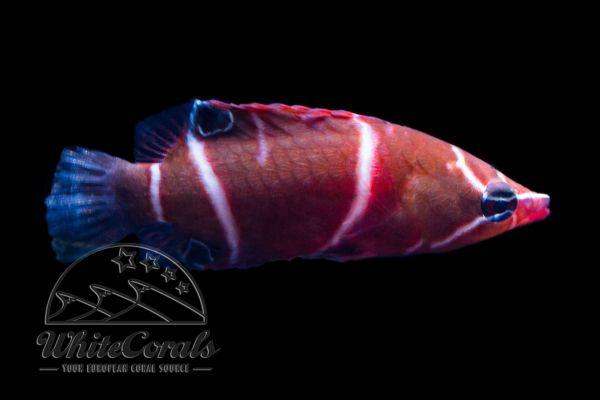 Wetmorella albofasciata - Höhlenlippfisch