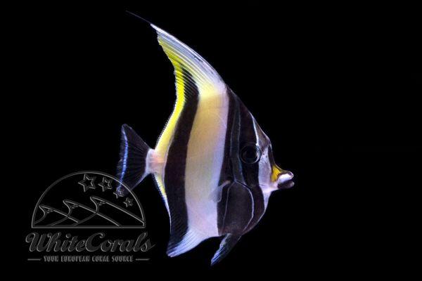 Zanclus cornutus - Halfterfisch