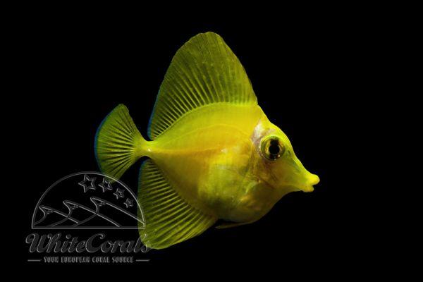 Zebrasoma flavescens - Gelber Doktorfisch - Nachzucht