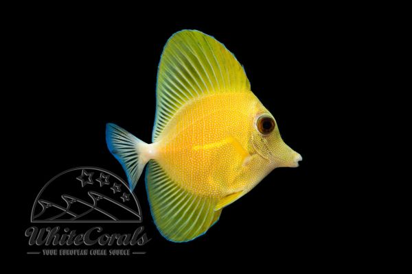 Zebrasoma scopas - Yellow Colormorph - RARE!