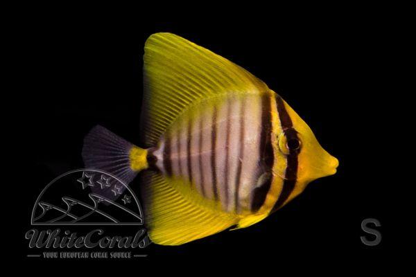 Zebrasoma veliferum - Pazifischer Segelflossen-Doktorfisch (Größe S)