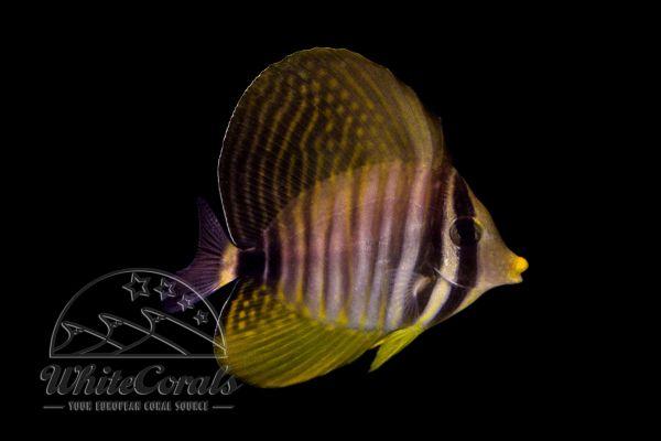 Zebrasoma veliferum - Pazifischer Segelflossen-Doktorfisch