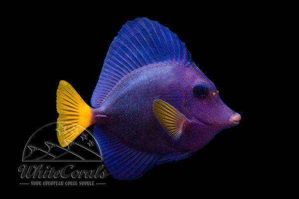 Zebrasoma xanthurum - Purple Tang
