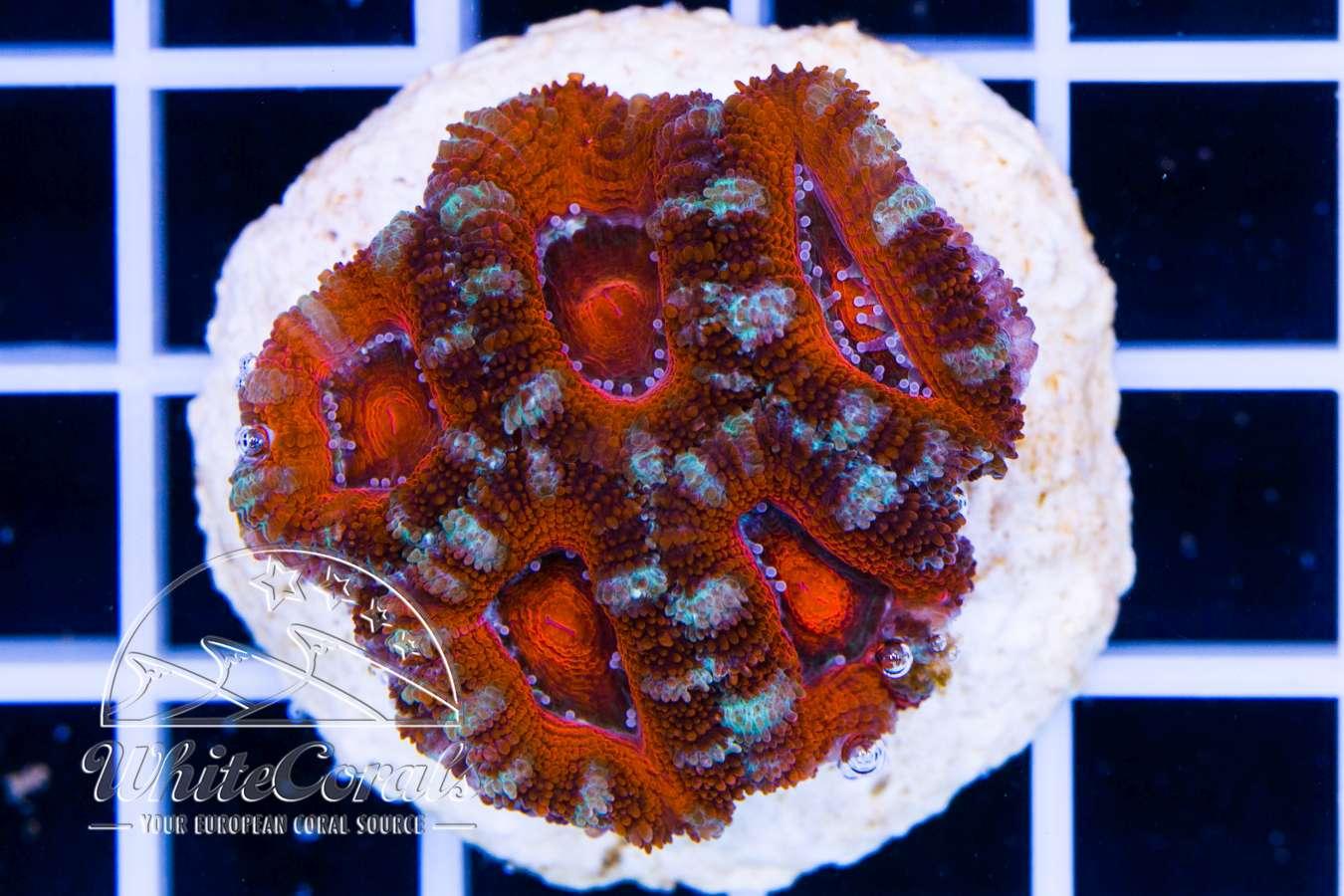 acanthastrea korallen ableger online kaufen meerwassershop. Black Bedroom Furniture Sets. Home Design Ideas