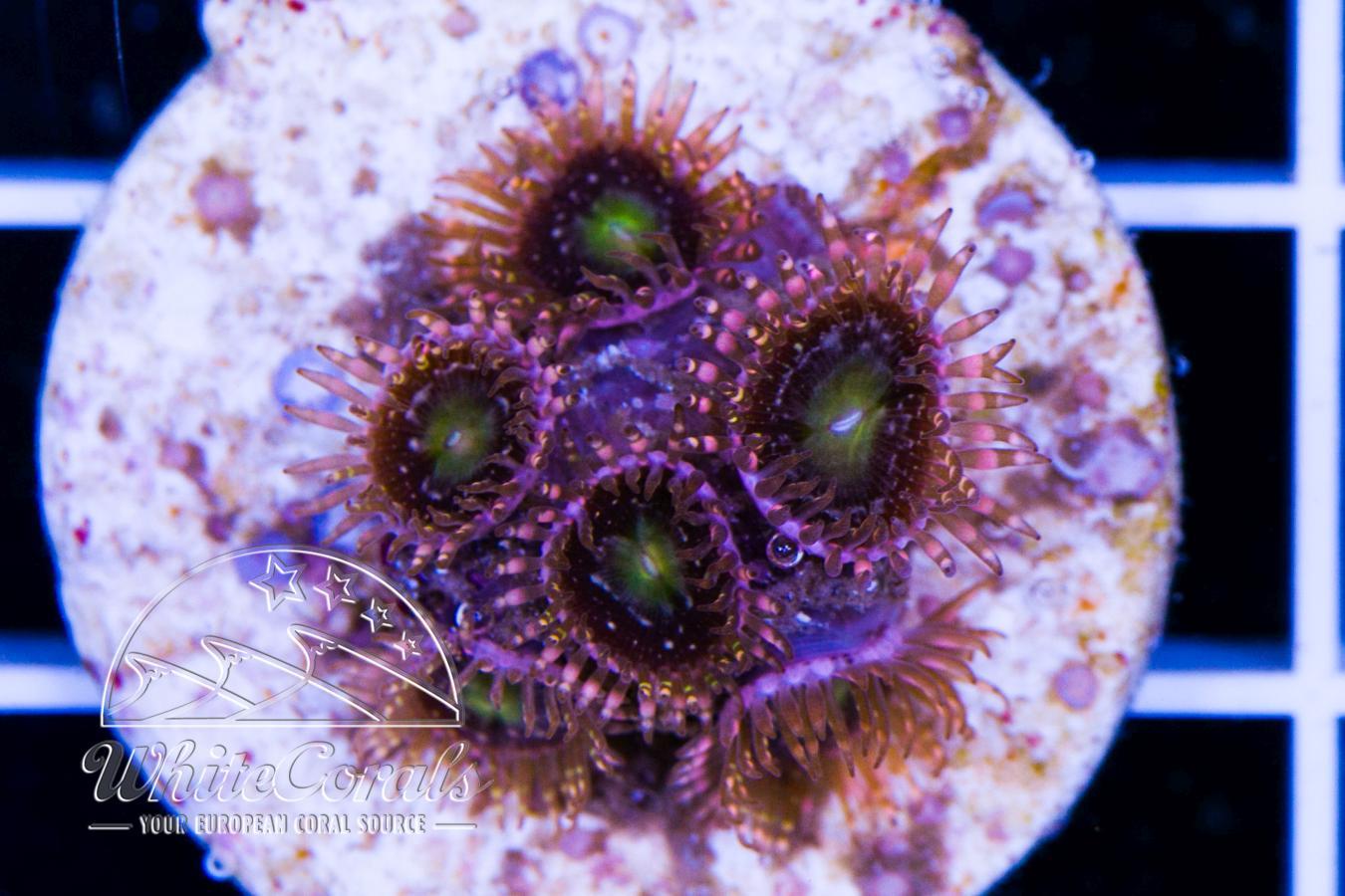 Zoanthus Alien Antivenom