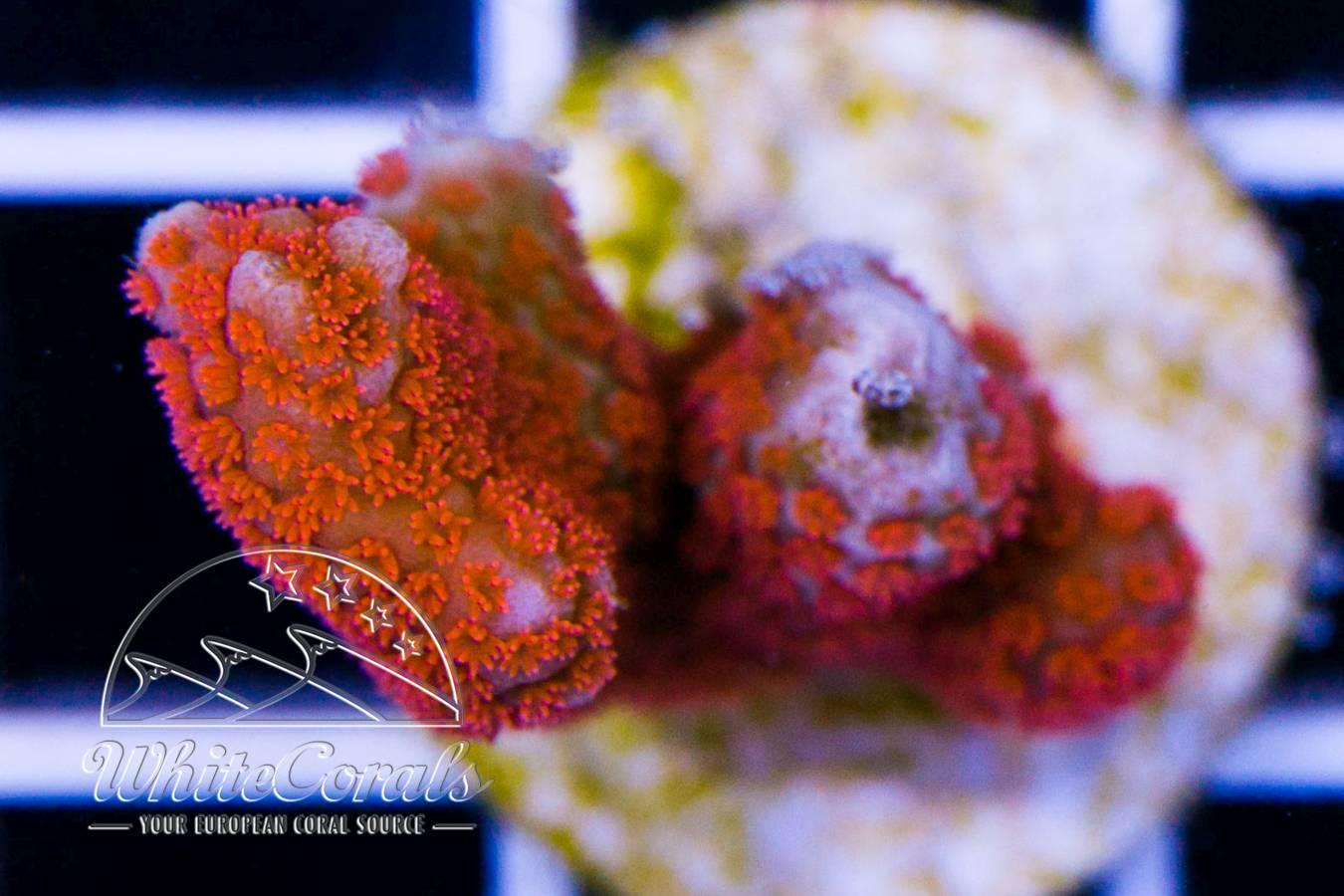 Ocean Nutrition Formula Two Marine Soft-Pellet Medium