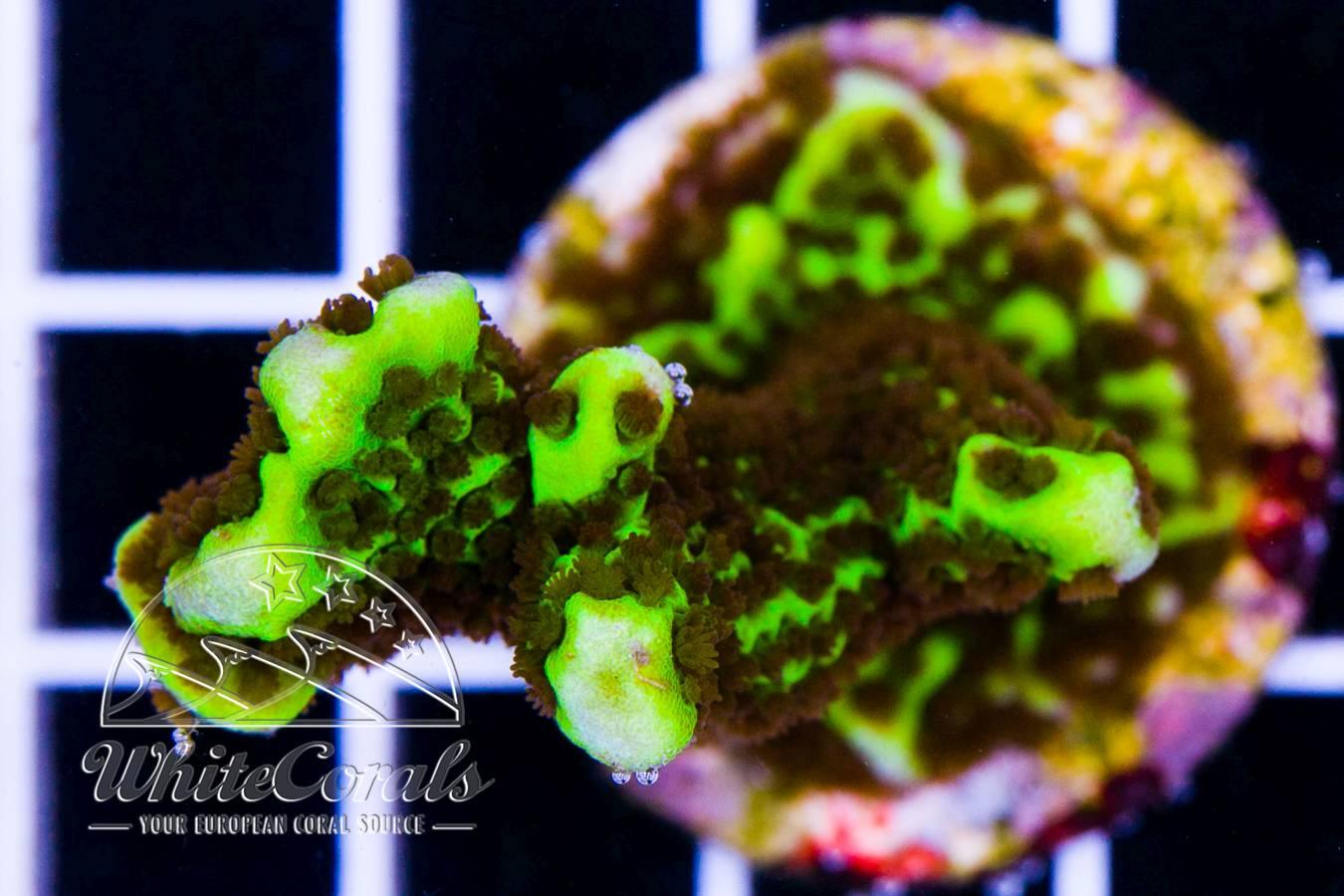Ocean Nutrition Artemia/Salzwasserkrebs Pre-Mix 50 gr