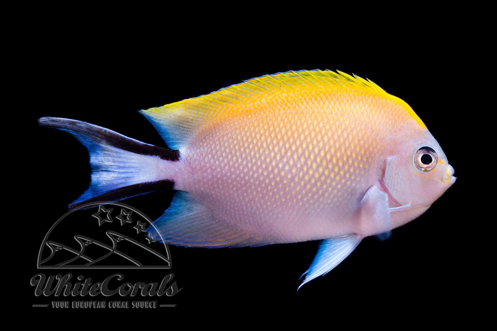 Genicanthus melanospilos - Pazifischer Zebrakaiserfisch Weibchen