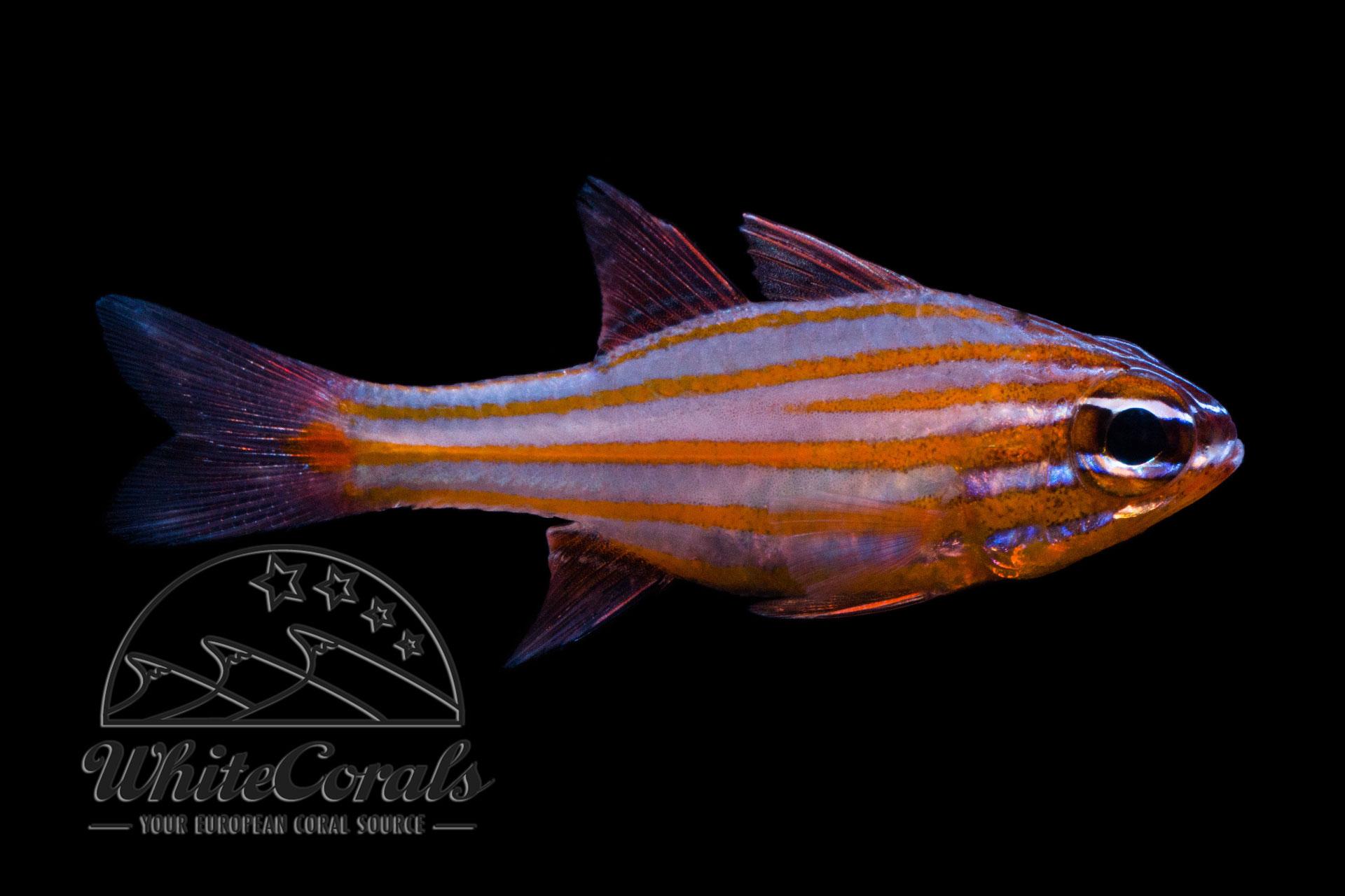 Ostorhinchus cyanosoma - Goldstreifen-Kardinalbarsch