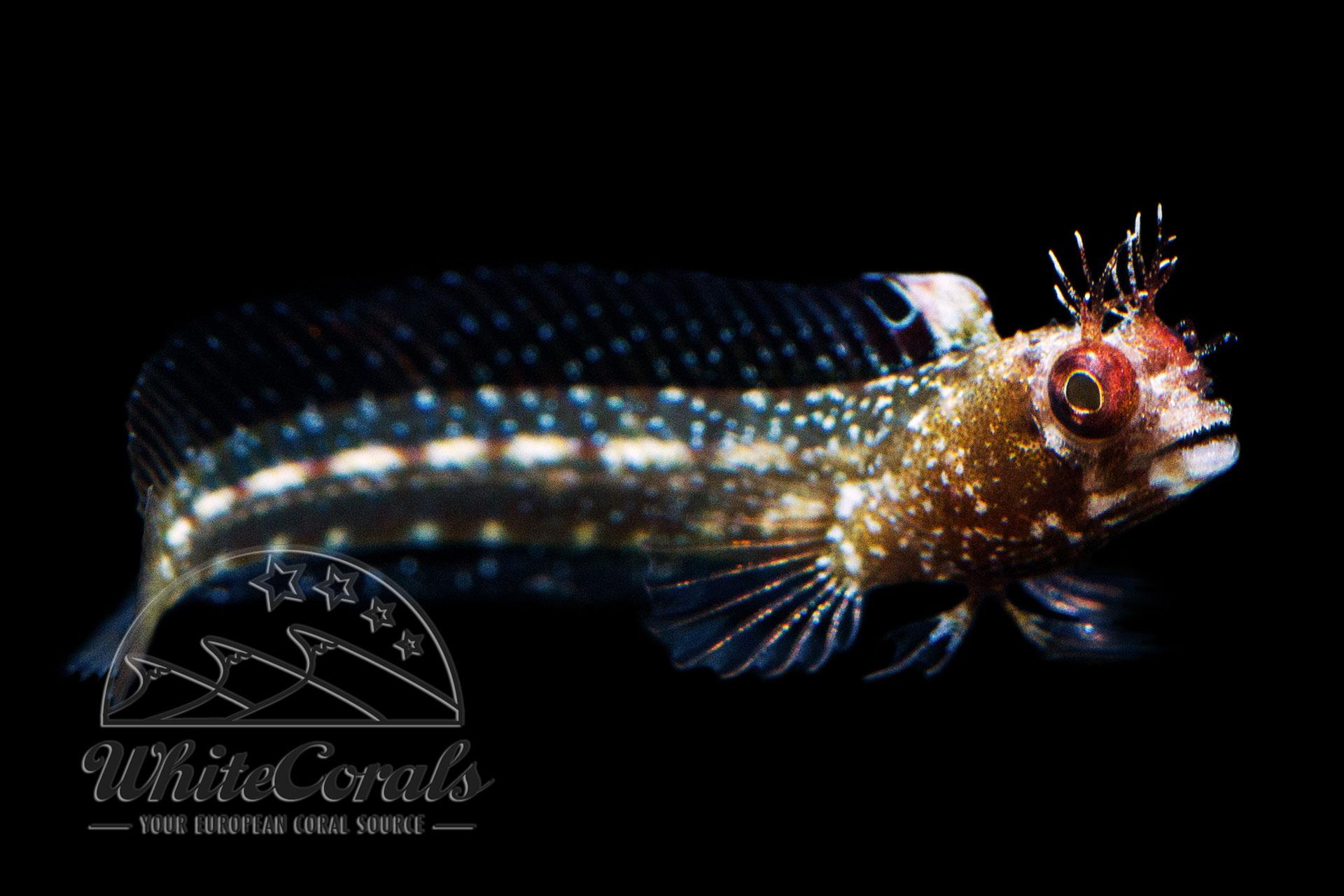Acanthemblemaria spinosa - Hechtschleimfisch