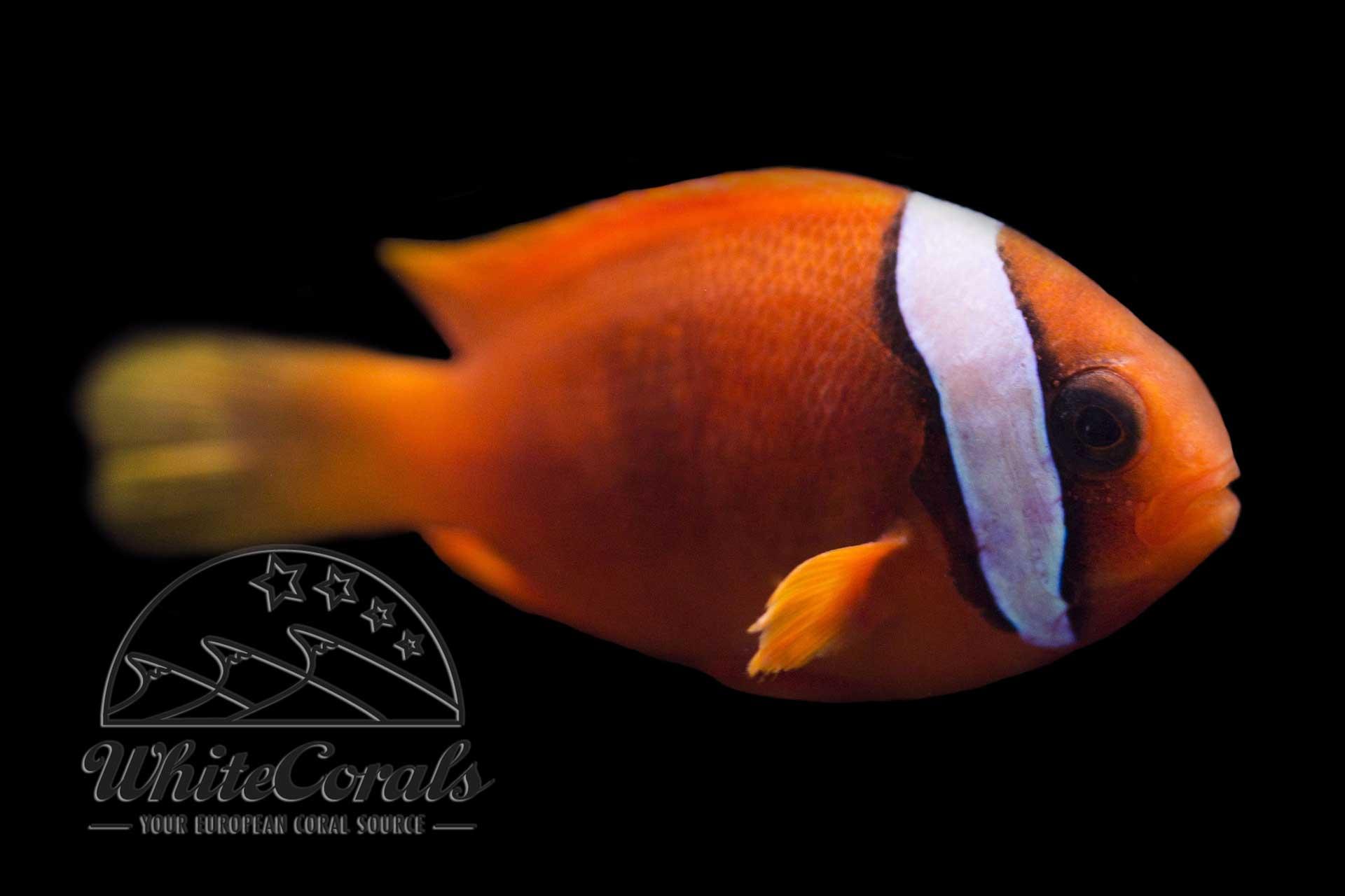 Amphiprion frenatus - Weißbinden-Glühkohlen-Anemonenfisch