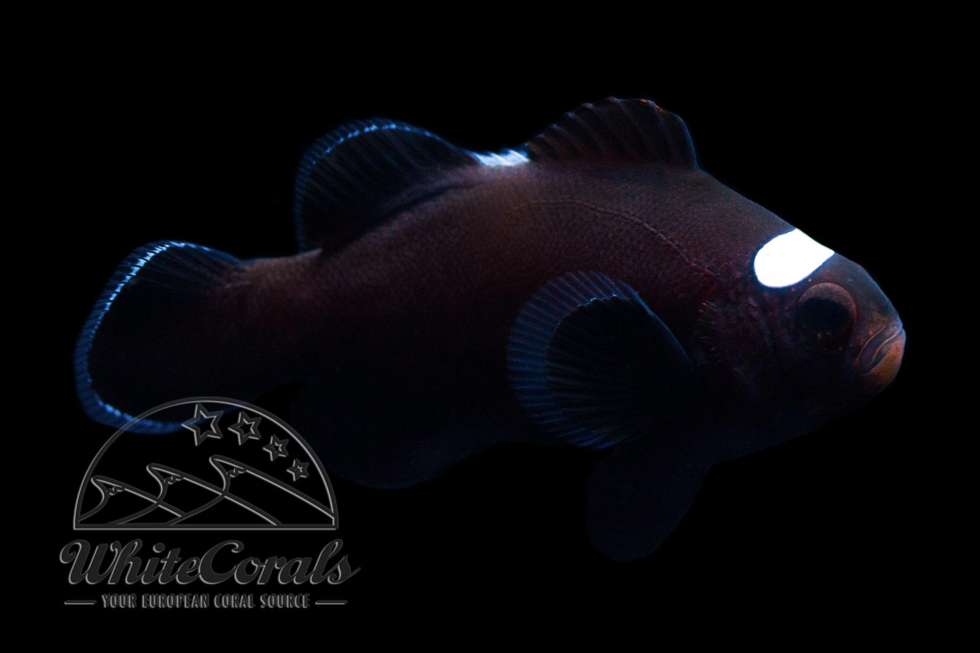 Amphiprion ocellaris - Domino Clownfisch