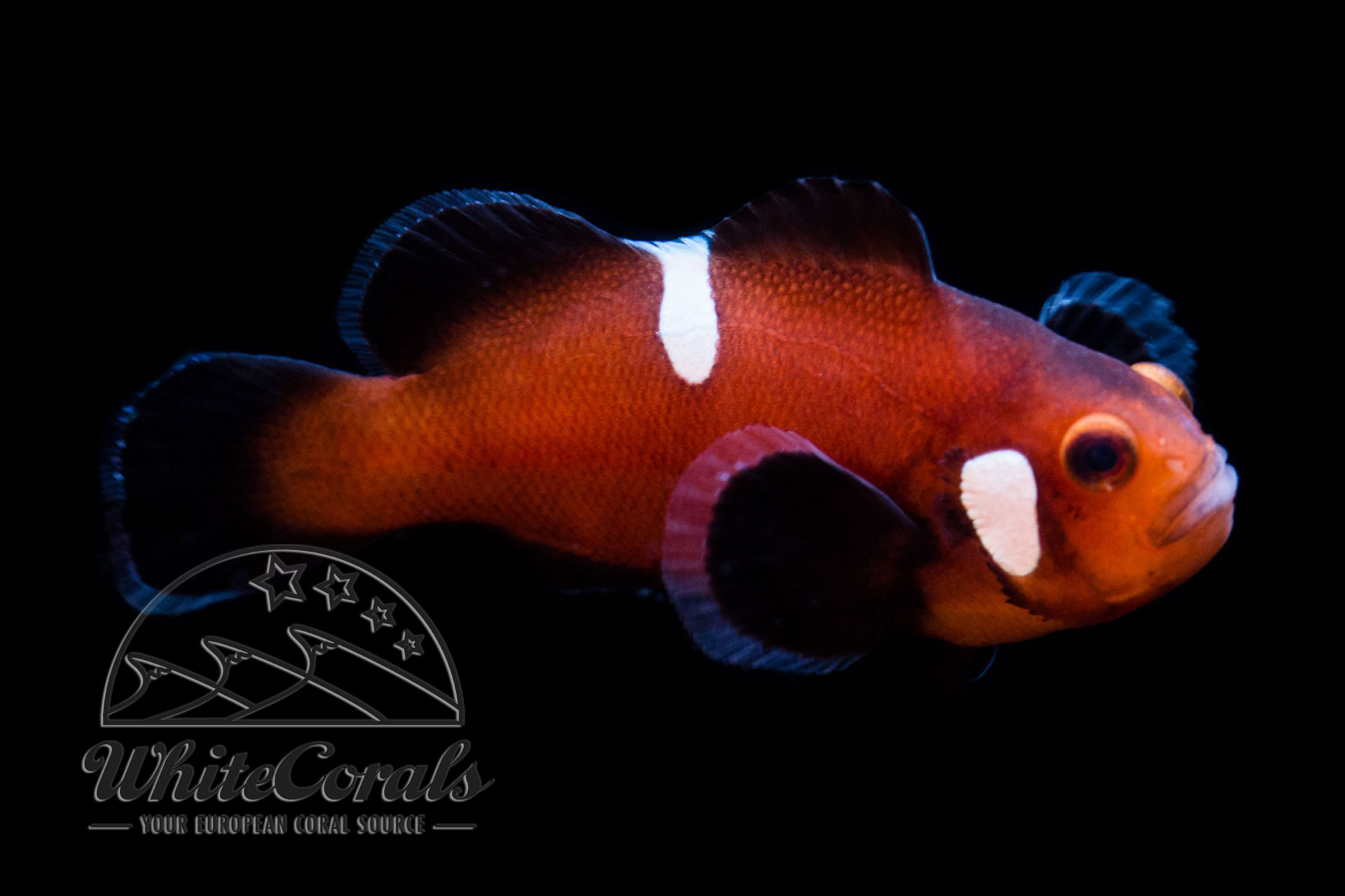 Amphiprion ocellaris - Naked Mocha Clownfish - buy online