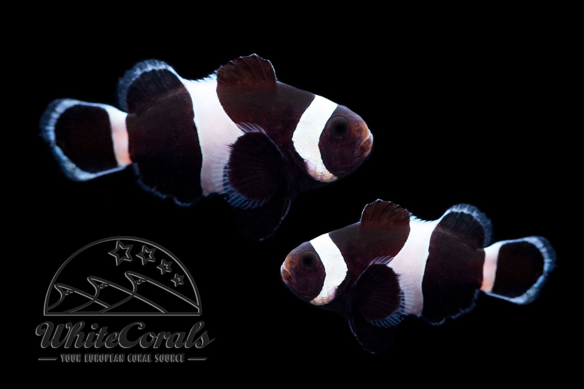amphiprion ocellaris black false clownfish pair buy online